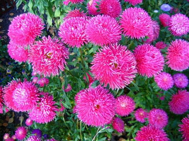 Многолетние дачные цветы для сада и огорода. каталог с описанием