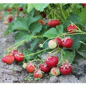 Клубника сорт полька: сладкая карамелька в саду