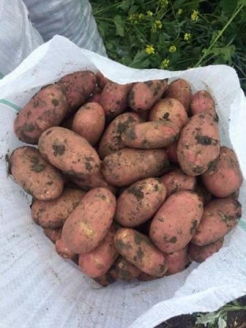 Сорт картофеля «любава»: характеристика, описание, урожайность, отзывы и фото