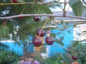 Через сколько лет после посадки начинает плодоносить черешня