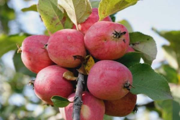 Сорт яблони пепин шафранный – описание, фото