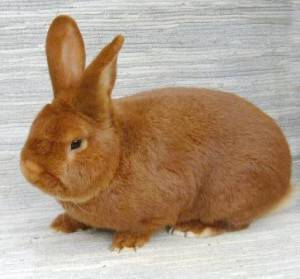 Описание новозеландского кролика и кроликов нзб