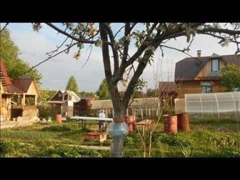 Чем обработать яблоню от тли и как от нее избавиться