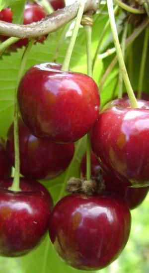 Черешня бряночка: описание и характеристики сорта, отзывы садоводов