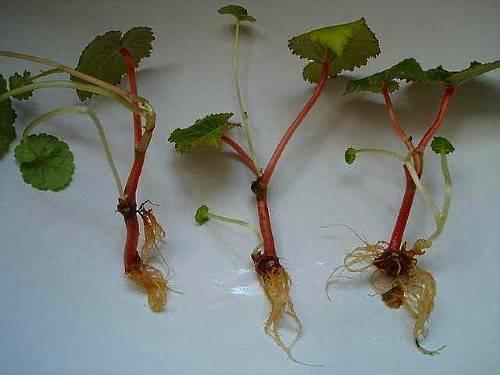 Как размножить бегонию в домашних условиях: листом, черенкам, семенами