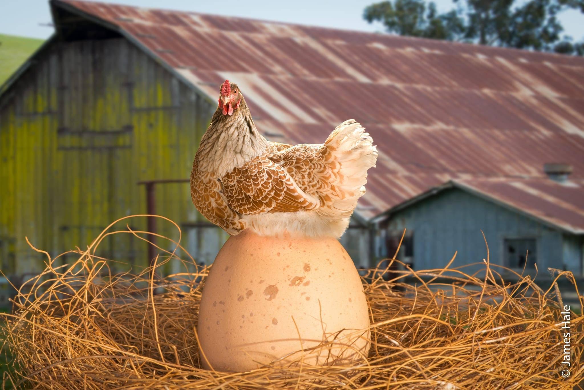Как организовать высиживание яиц?