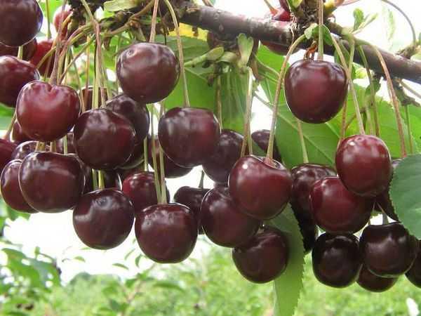 Продуктивный сорт с северной пропиской — вишня уральская рубиновая