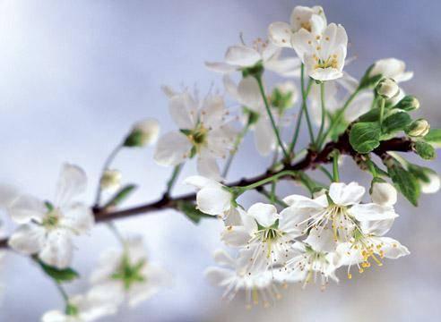 Почему не плодоносит слива — 10 основных причин и советы по выбору метода лечения сливы и восстановления урожая