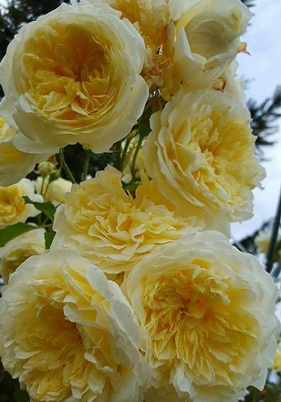 Особенности выращивания розы пилигрим - общая информация - 2020