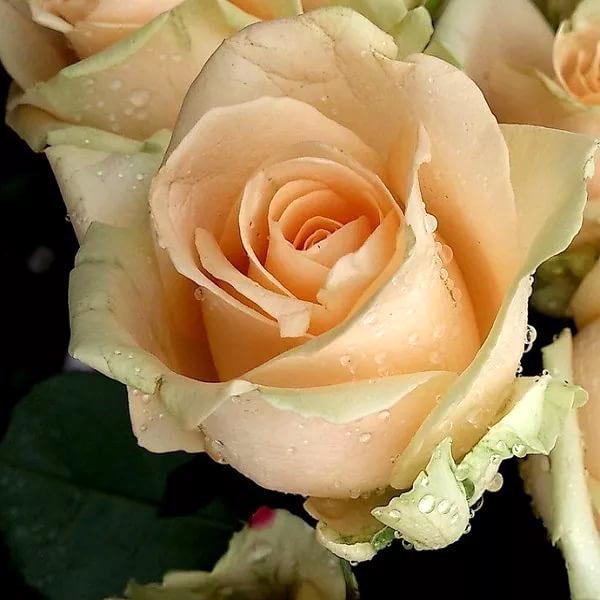 Чайно-гибридный сорт роз пич аваланж: что это за розовый цветок из голландии