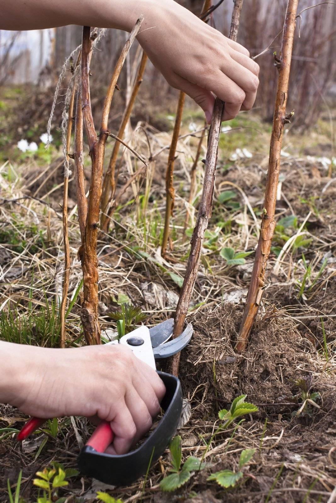 Как правильно ухаживать за малиной: особенности выращивания, обрезки, подкормки