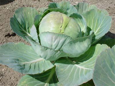 Как часто поливать капусту в открытом грунте: советы по уходу
