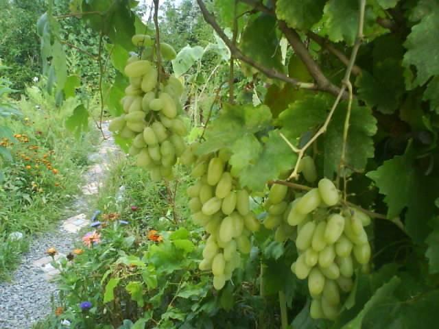 Виноград дамские пальчики (хусайне белый): описание, фото и характеристики сорта + особенности посадки и ухода, отзывы