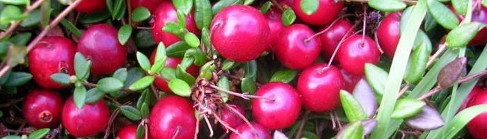 Куст клюква: посадка и уход, фото, выращивание в саду, обрезка и размножение