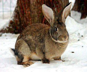 Порода кролика белый великан: особенности, содержание и разведение