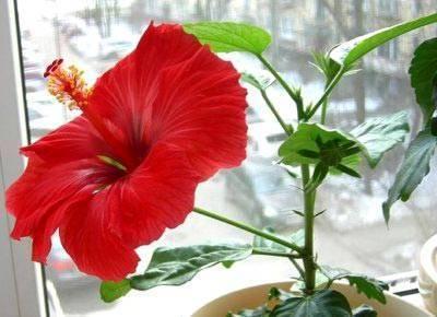 Цветы гибискус: фото, описание видов и сортов уход и размножение в домашних условиях