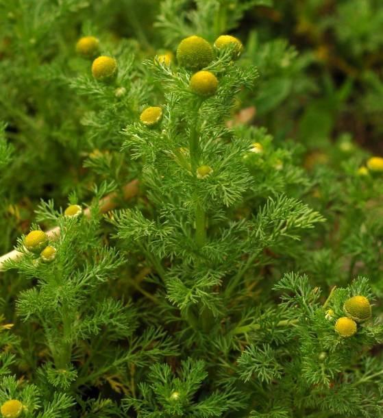 Аптечная ромашка, лечебные свойства и противопоказания. ромашка безъязычковая (chamomilla suaveolens)