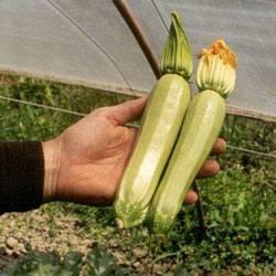 Кабачки: кустовые сорта - обзор, правила посадки и выращивания!