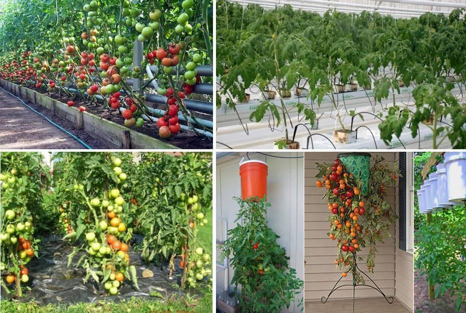 Выращивание томатов в ведрах в теплице