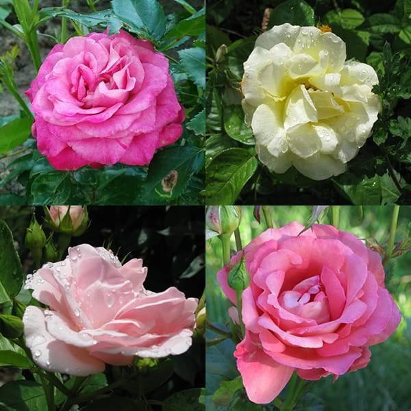 Можно ли пересаживать цветущую розу летом : когда и как правильно пересадить