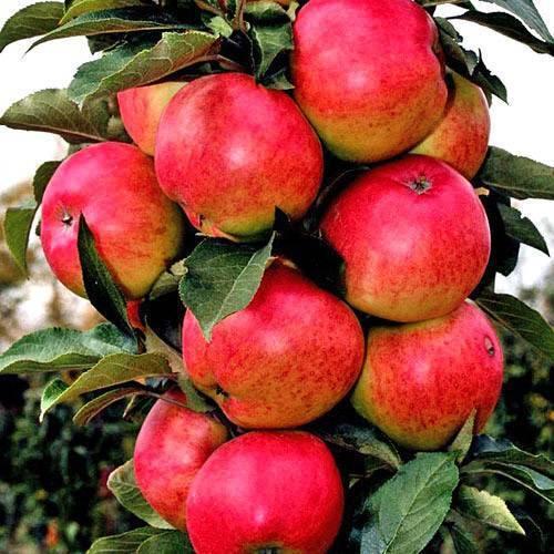 Яблоня колоновидная васюган | саженец.ру