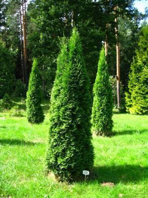 О туе Холмструп западная: описание сорта, как посадить и ухаживать