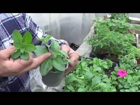 Черенкование петунии на зиму - как сохранить петунию до весны?