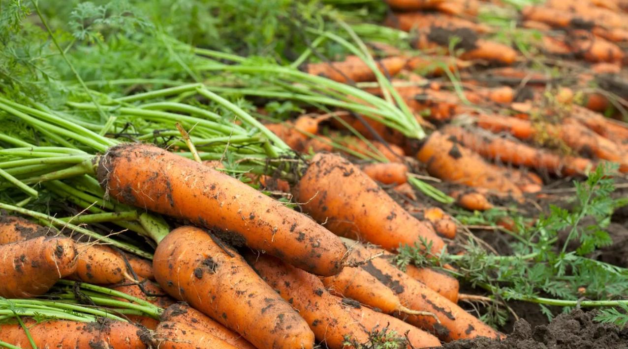 Благоприятные дни для посадки свеклы и моркови весной 2020 года по луне