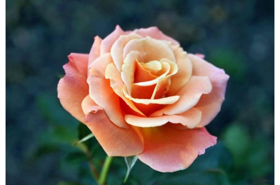 Розы группы флорибунда с описанием лучших сортов