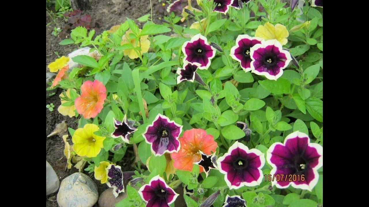 Размножение петунии черенкованием. как сохранить маточное растение