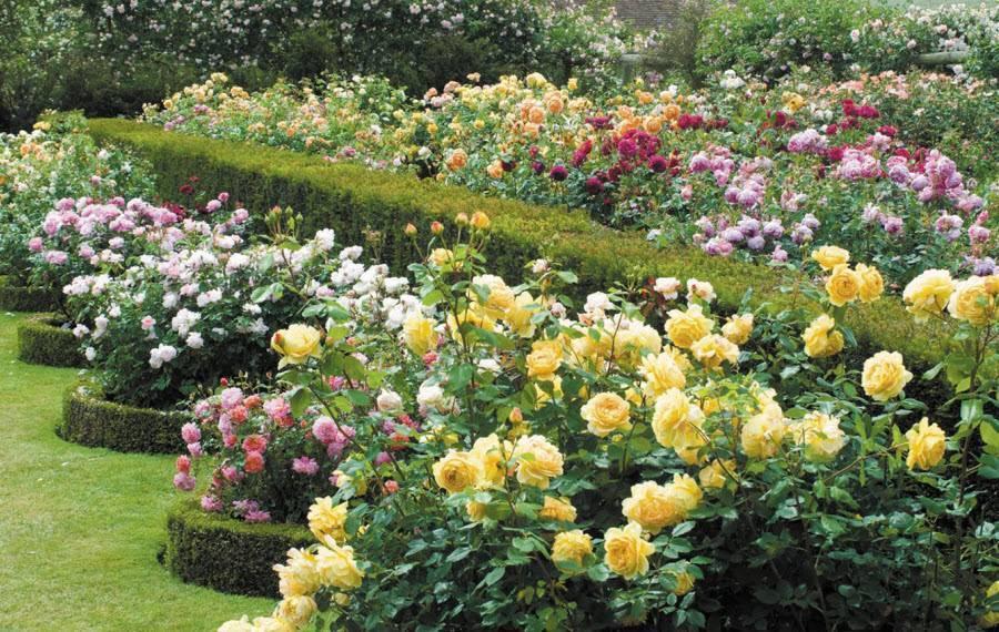 Рекомендации по уходу за парковыми розами, описание популярных видов