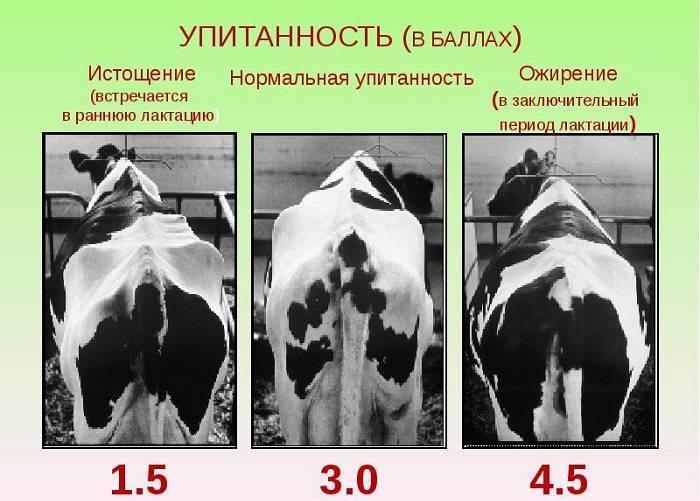 Сколько весит бык: средние весовые показатели и категории