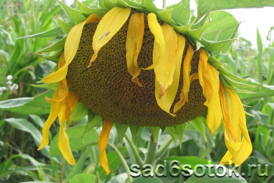 Как вырастить подсолнух на даче и получить отличный урожай