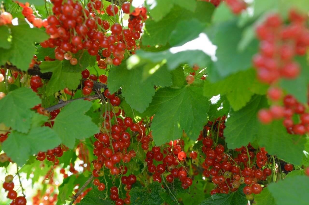18 лучших сортов красной смородины - общая информация - 2020