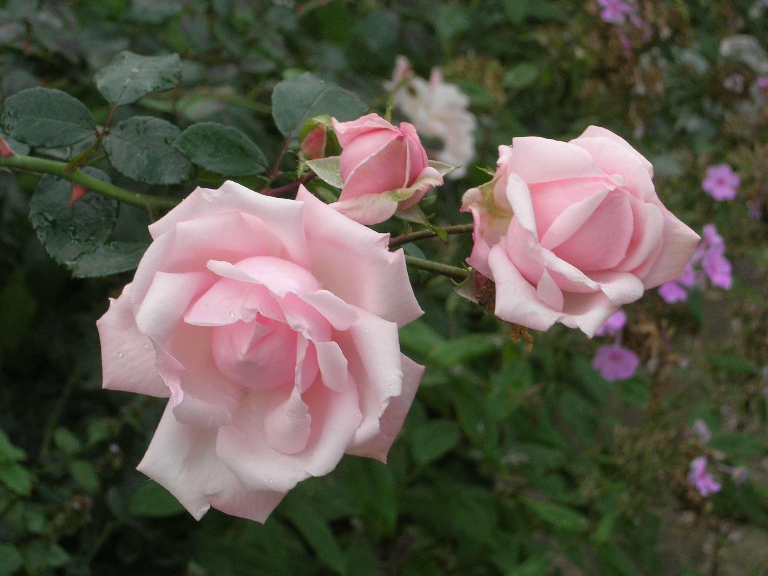 Роза плетистая new dawn — отзывы. негативные, нейтральные и положительные отзывы