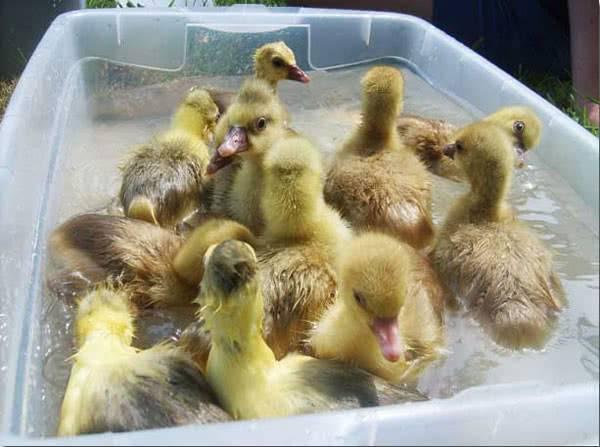 Как осуществляется инкубация гусей?