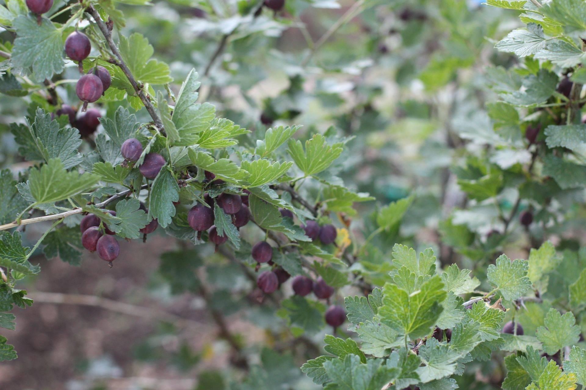 Описание крыжовника сорта «краснославянский»: характеристики, фото, отзывы садоводов