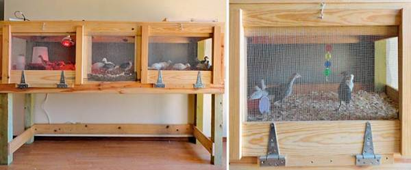 Выращивание индюков в домашних условиях для начинающих