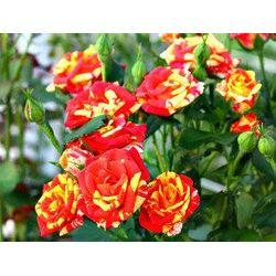 О сортах розы fairy: описание и характеристики, выращивание почвопокровной розы