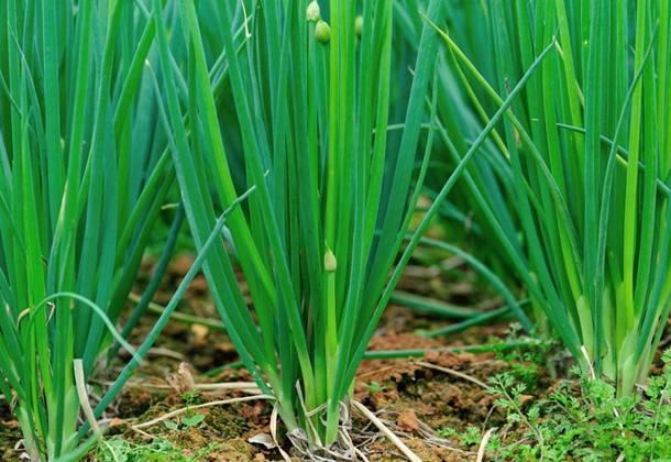 Как правильно вырастить на огороде вкусный лук-батун?
