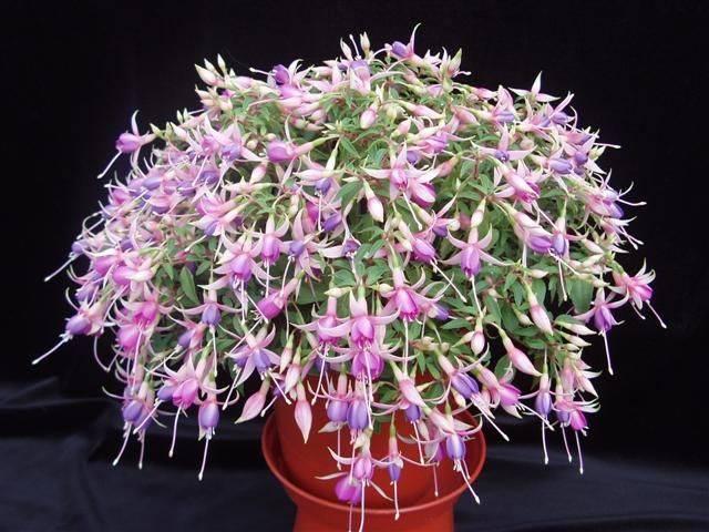 Выращивание фуксии в домашних условиях и уход за ней: как формировать микроклимат для цветка, каковы принципы размножения данного растения?