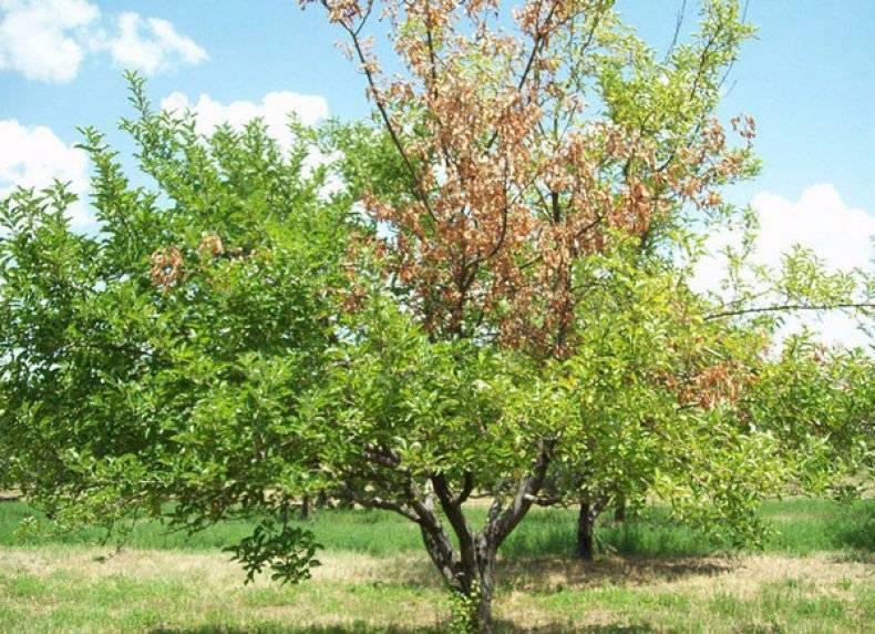 На стволе абрикоса появилась камедь – как лечить дерево