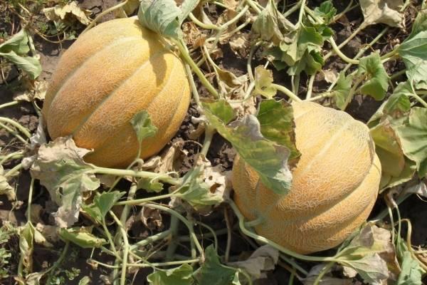 Дыня эфиопка — ягоды грибы