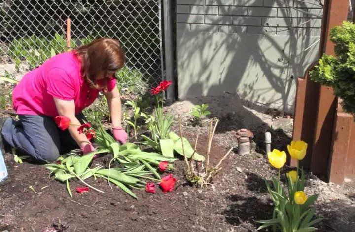Когда сажать тюльпаны осенью. | красивый дом и сад