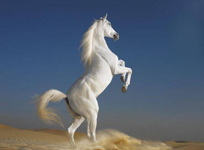 О самой дорогой лошади в мире: ТОП самых дорогих и престижных пород лошадей