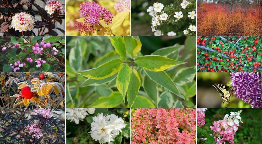 12 самых красивых зимостойких кустарников