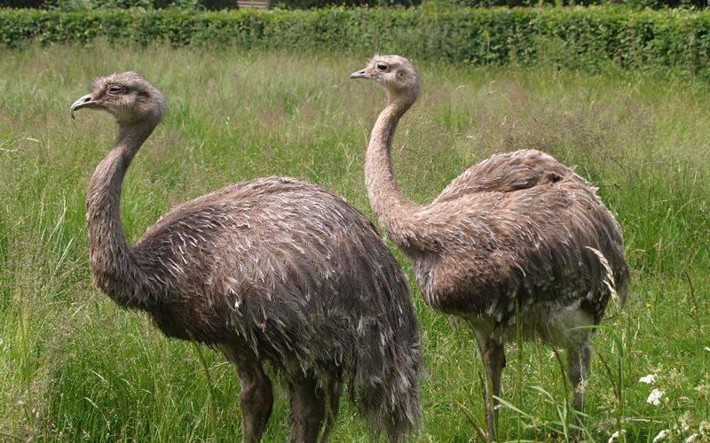 Австралийский страус: фото, описание и среда обитания