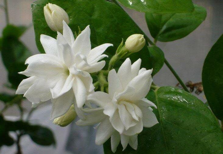 Кустарник жасмин (чубушник). жасмин комнатный - фото