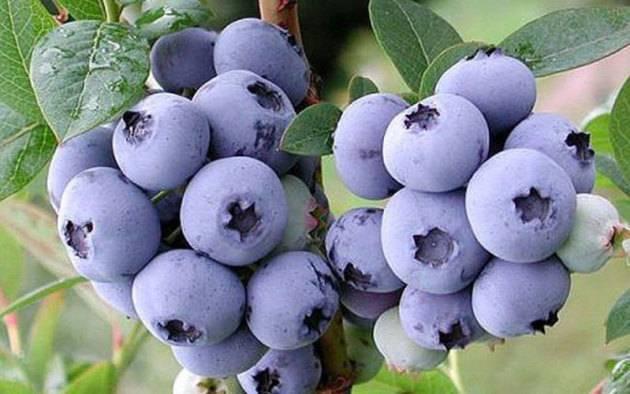 Сорта голубики: 125 фото лучших высокоурожайных сортов садовой голубики