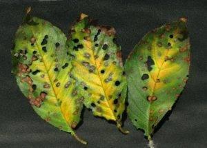Все о лечении клястероспориоза сливы: что делать если на листьях дырочки
